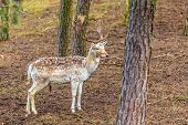 picture of bucks  - Young male fallow deer buck in forest - JPG