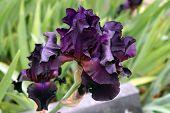 picture of purple iris  - A purple bearded rhizomatous iris  - JPG
