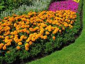 stock photo of marigold  - Flowerbed border of marigolds in a park formal garden - JPG