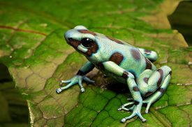 picture of poison arrow frog  - green poison arrow frog - JPG