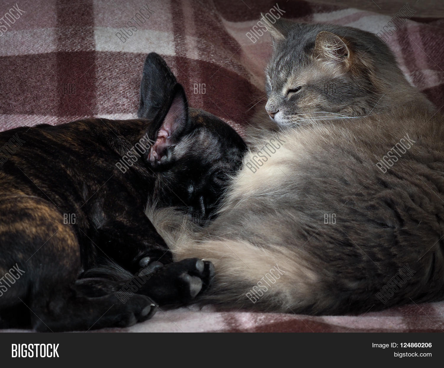 gray fluffy cat and a black dog sleeping together. friendship cats