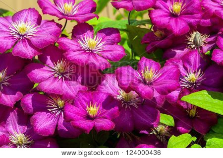 beautiful bright purple clematis flowers with yellow stamens