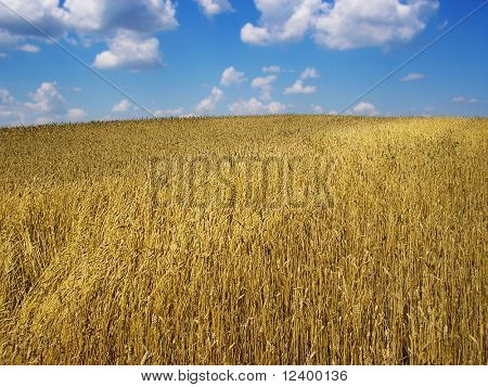 golden wheat field under a cloudy blue sky