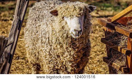 Cute sheep in Colonial Williamsburg, Virginia, USA