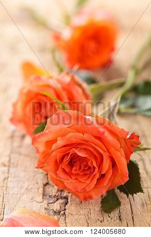 Heap of coral roses  on wooden table.