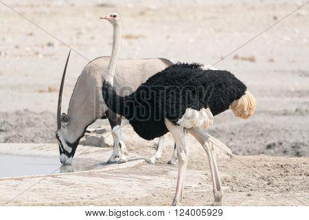 Ostrich Near Waterhole