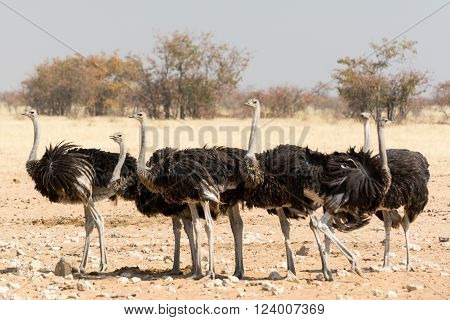 group of ostriches in etosha national park, namibia