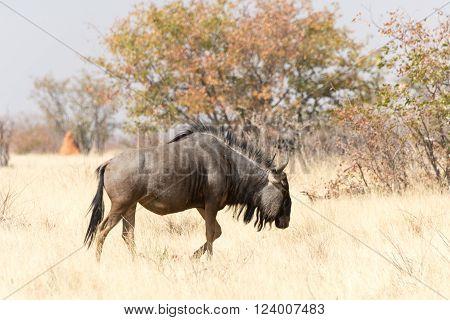 blue wildebeast walking throug dry grassland, namibia