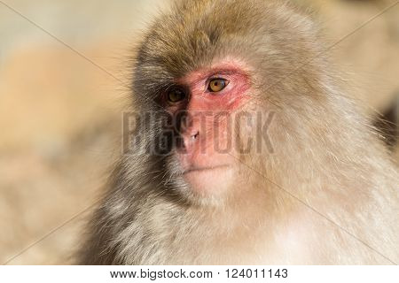 Cute Japanese monkey