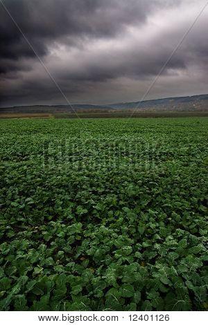 sugar-beet field