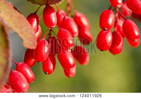 Red barberry berries on the tree close up
