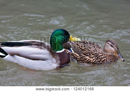 drake and female of mallard ducks (Anas platyrhynchos) in breeding plumage on the water