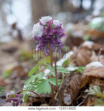 Violet corydalis flower powdered with snow. Spring scene after snowfall.
