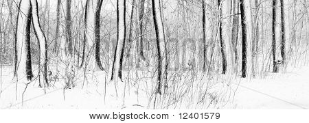 winter forest panorama