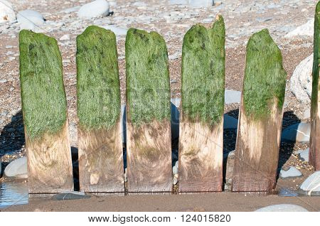 Four wooden posts with seaweed on them from a breakwater