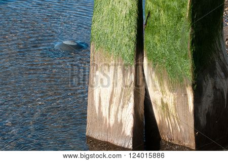 Old wooden breakwater with green seaweed on the top