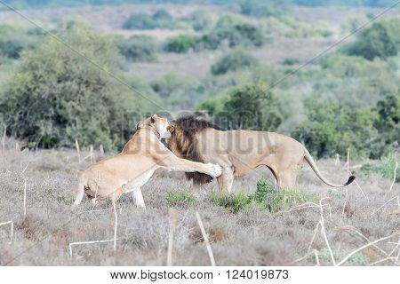 A female African Lion, Panthera leo, reacting aggressively to the attention of a male lion