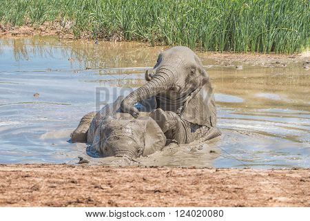 Two elephants Loxodonta africana playing in a waterhole