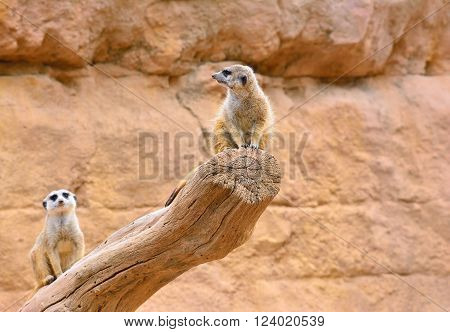 Two Suricates On Dry Tree