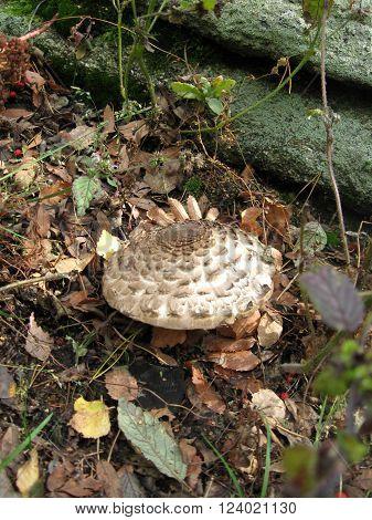 Macro of fresh brown champignons mushrooms Agaricus bisporus on wood