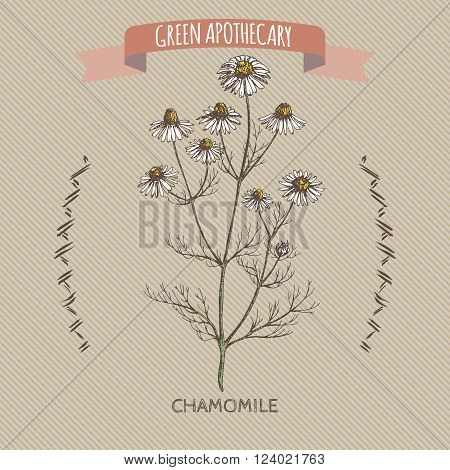 Color matricaria chamomilla aka chamomile sketch. Green apothecary series. Great for traditional medicine, gardening or cooking design.