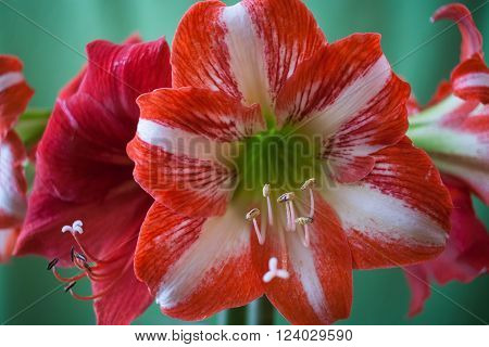 Beautiful red and white Amaryllis flowers on a green background