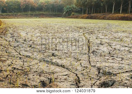 Rice fields during the dry season with morning a drought