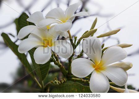 White plumeria on the plumeria tree in garden outdoor