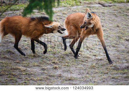 Two bickering red wolves in a forest