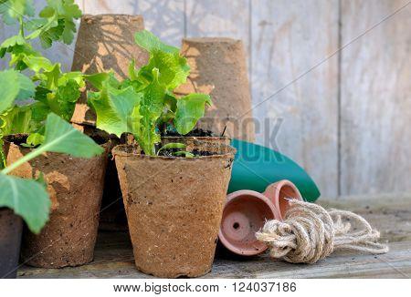 planting in peat pots on wooden garden worktop
