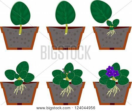 Vegetative reproduction african violets (saintpaulia) home plant