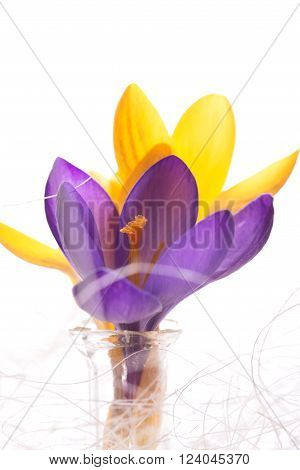 Vertical photo withe few crocus blooms. Violet one is in front of yellow. Flowers are in glass vase with white strings around. Background is white.