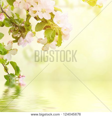 Fresh spring branches of apple tree with flowers, natural floral seasonal easter background. Suitable for greeting cards and invintation.