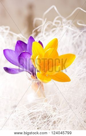 Vertical photo withe few crocus blooms. Violet one is in front of yellow. Flowers are in glass vase with white strings around. Background is from wooden board with white worn color.