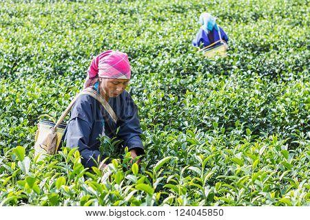 Thailand chiang rai - december 31 2015 : women from Thailand breaks tea leaves on tea plantation in 101 Tea Plantation mae salong mountain Chiang Rai Thailand