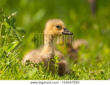 A baby Canada Goose or a gosling rests peacefully in the grass on the edge of a Wisconsin river.