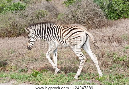 A Burchells zebra foal Equus quagga burchellii walking. ** Note: Visible grain at 100%, best at smaller sizes
