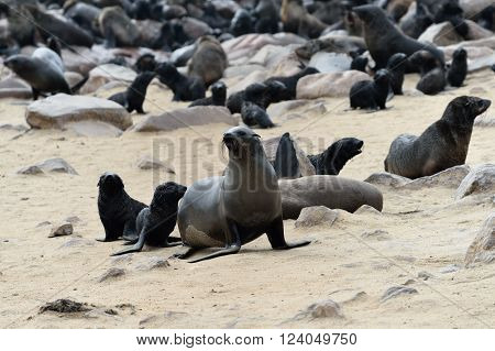 Cape fur seals on the stone coast of Atlantic ocean. Seal colony on the Cape Cross Skeleton Coast Namibia. The biggest colony in the World