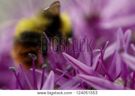 Soft focus bumble bee on a purple allium