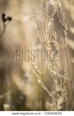 close-up dry bossom of grass in autumn on the valley