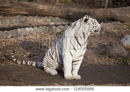 Closeup of a sitting calm white tiger