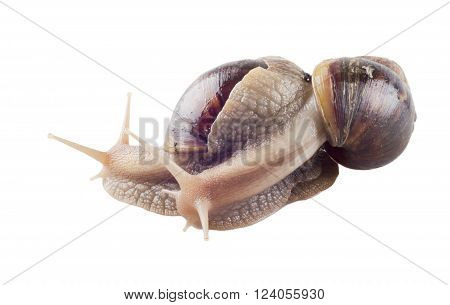 Couple of giant African land snails (isolated on white)