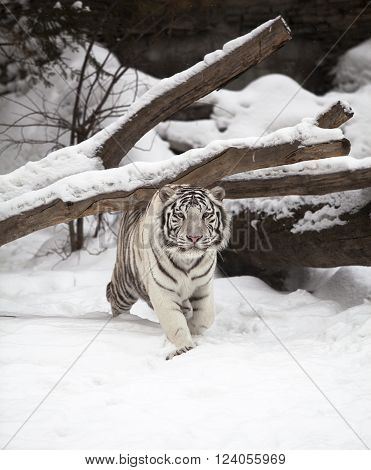 White tiger crawling and walking on the snow