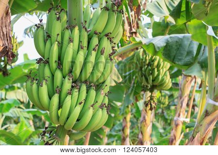 Banana bunch of raw on banana tree in banana plantations.