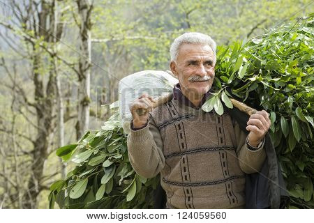 Masal IRAN - March 24 2016: Portrait of A Taleshi Herder Collected Leaves for Cattle. Gilan Province 2016