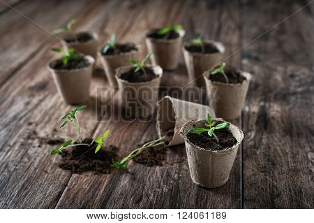 Closeup of peat planting pots filled with soil and tulips with sheet of blank paper on rustic wooden background. Gardening and planting seedlings, spring is here concept.
