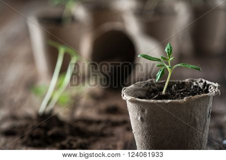 Planting young tomato seedlings in peat pots on wooden background. Agriculture garden homegrown food vegetables self-sufficient home sustainable household concept.