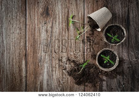 Planting young tomato seedlings in peat pots on wooden background. Agriculture garden homegrown food vegetables self-sufficient home sustainable household concept. Copy space
