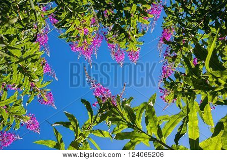 Purple Alpine Fireweed against blue sky close up