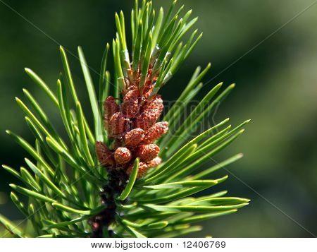 Pinenuts Budding